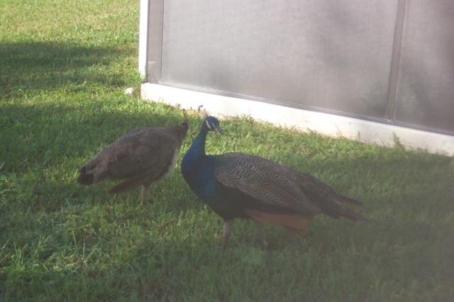 peacocks 001