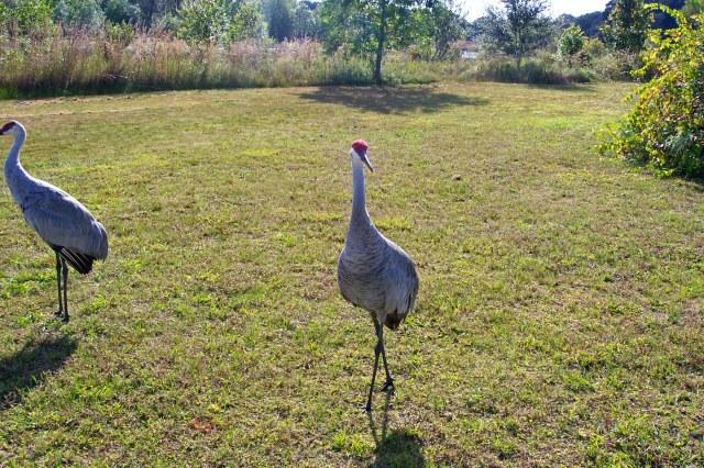 sandhill cranes-10