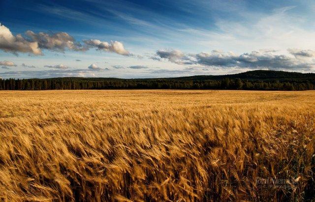 barley_fields_by_nitrok-d2jnisb