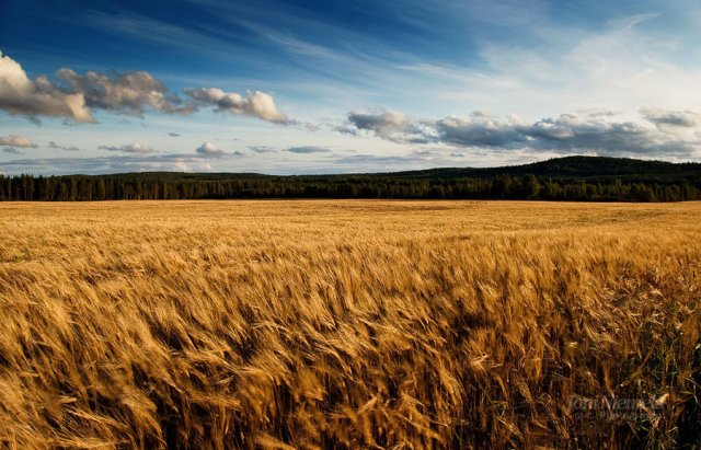 barley_fields_by_nitrok-d2jnisb
